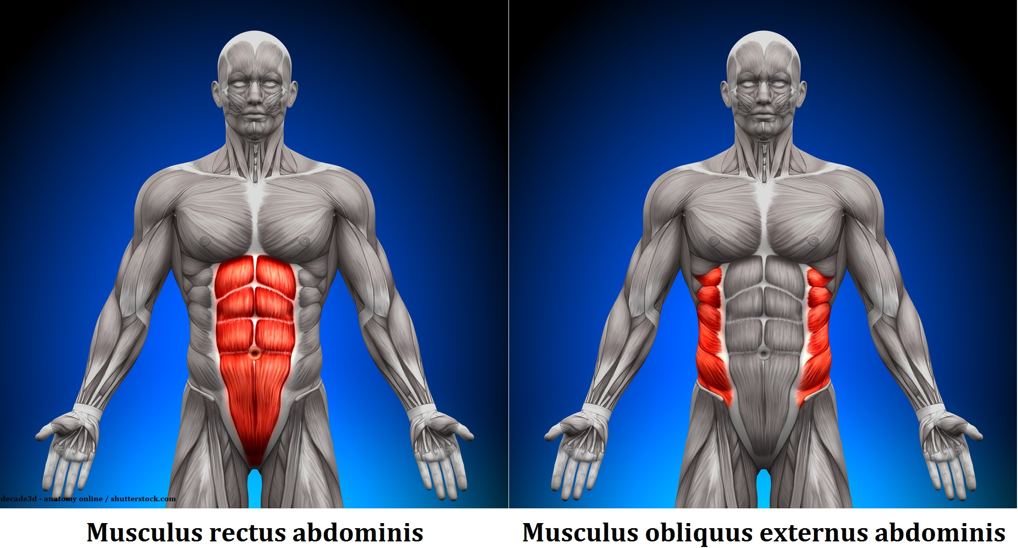 The abdominal muscles