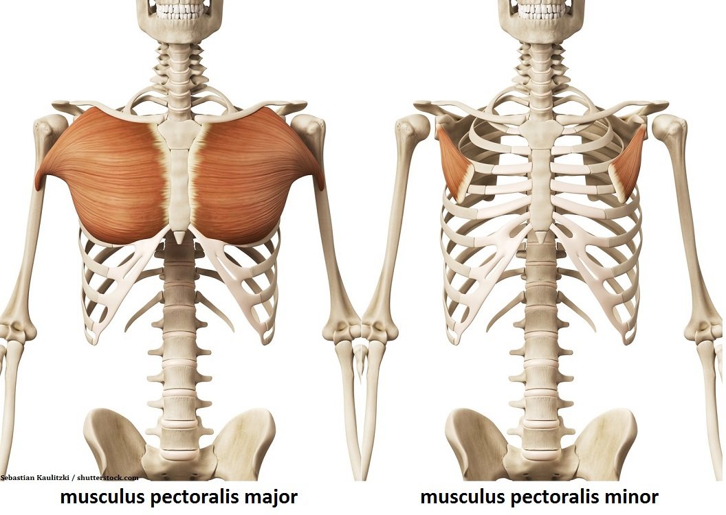 Musculus pectoralis major