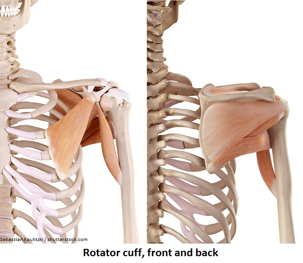 Rotator cuff front and back